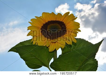 A large sunflower   (  Helianthus annuus, Asteraceae )   with sky, clouds and sun