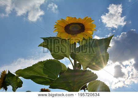 A large sunflower on the field   (   Helianthus annuus, Asteraceae  )  with sunrays