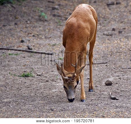 Male Roebuck By The Forest