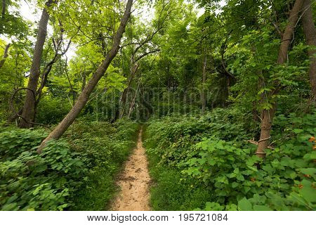 A very narrow path cuts through the woods.