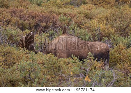 a huge Alaska Yukon bull moose in velvet in Denali National Park
