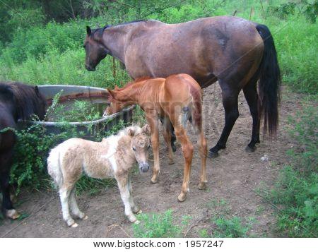 Quarter Horse Mare And Colt