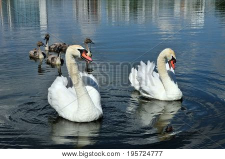 Mute swan - a bird from the family of ducks. A married couple of swans with chicks.