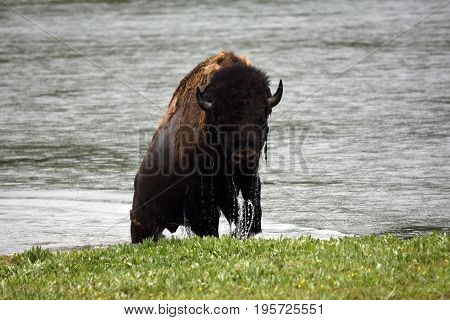 an adult bison walks out of a river into the rain
