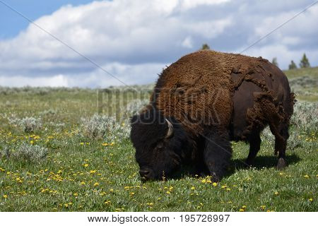 a bison feeds in a flower strewn meadow
