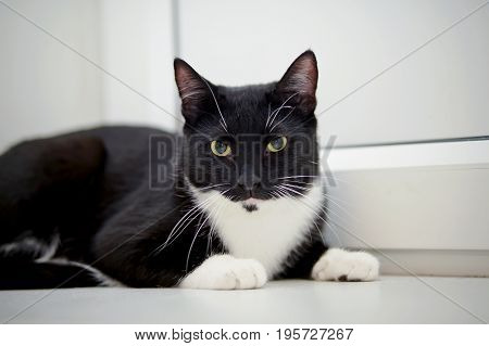 The cat of a black-and-white color lies.