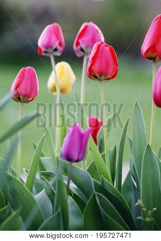 bright tulips.