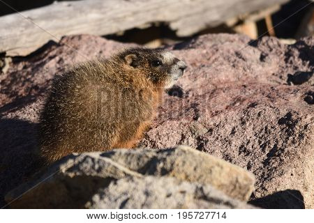 a small baby marmot stands on the rocks