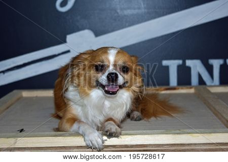 a Chihuahua dog relaxes on a bench