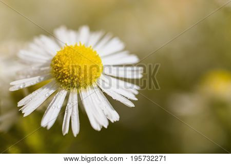 Chamomile with dew. White summer flower with drops of water on a yellow background in the flowerbed. Greeting card with flower. Beautiful natural flower template. Beautiful summer flower. Spring fresh flower. Flower against the background of summer nature