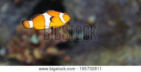 Orange and white striped clown fish with black trim against a dark, murky background