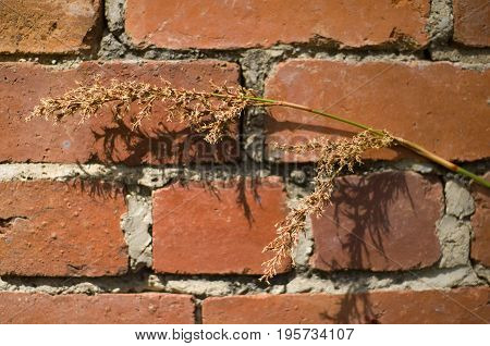Dead Plant Against Red Brick Wall