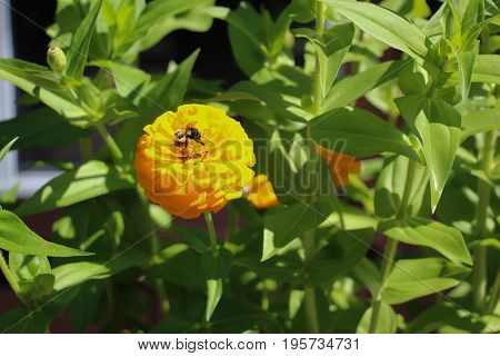 bee on vibrant yellow marigold flower surrounded by green leaves