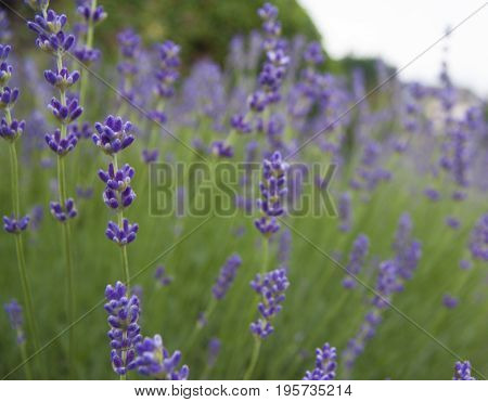 Close-up of lavender flowers in a suburban area