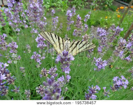 Beautiful butterfly sat on a bush of lavender