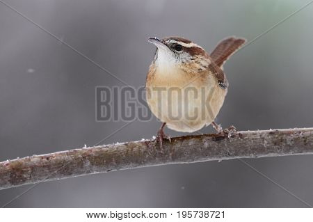 Carolina Wren (Thryothorus ludovicianus) on a perch with snow falling