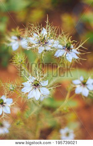 Love-in-a-mist flower or Ragged Lady Devil in the Bush Gretchen im Busch in St. Gallen Switzerland. Its Latin name is Nigella Damascena native to Southern Europe Northern Africa.
