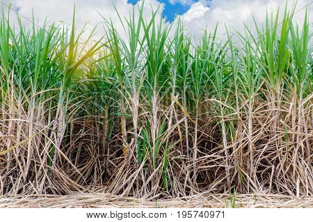 sugarcane field planting in the east of thailand