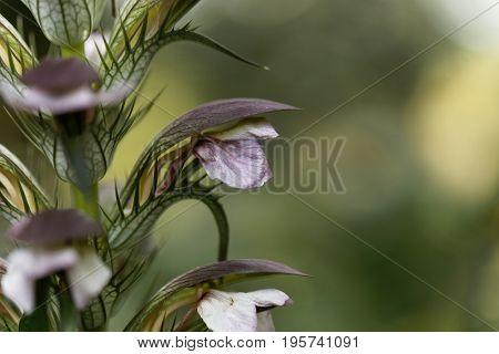 Flower of a bear breeches Acanthus mollis.