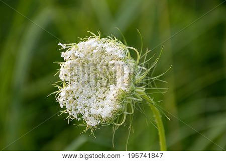 close up of Queen Anne's Lace in meadow