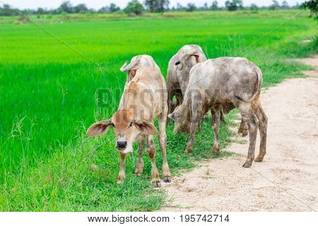 Herd Cows In The Field Stall , Watch Ahead Of Cows , The White Color Of Herd Of Cows In The Farm