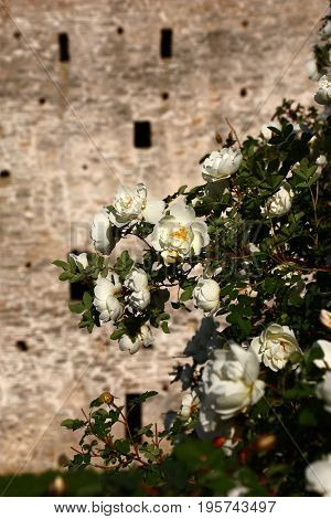 On branches of a bush of a rose many white flowers. The fortress wall became a background for flowers.