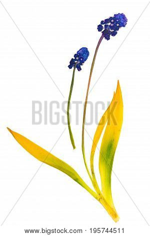 Pressed and dried stems and flower muscari isolated on white background. For use in scrapbooking floristry (oshibana) or herbarium.