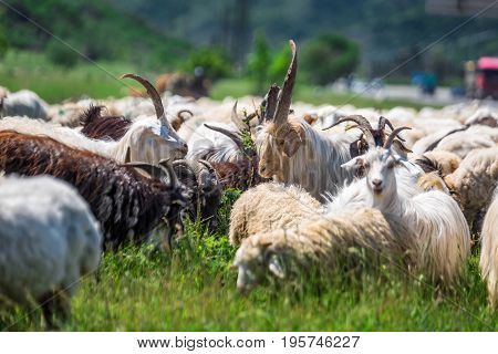 Herd of goats and ships in the mountains of Georgia.