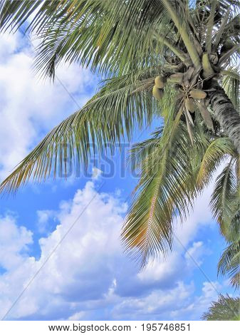 Coconut palm trees with a blue sky background