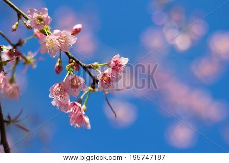 pink Cherry blossom with blue sky in winter season