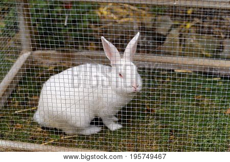White Pet Rabbit