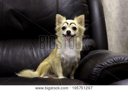 Little chihuahua portrait over black sofa background.