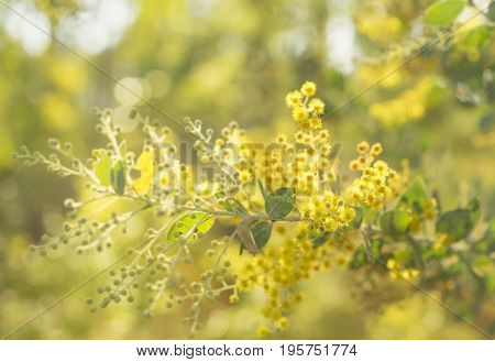 Early sunny morning in Australia bush with sunshine streaming on to golden yellow flowering Australian wattle tree