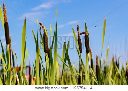 Reed Plant On The Shores Of Lake On A Blue Sky Background. Cattail Closeup