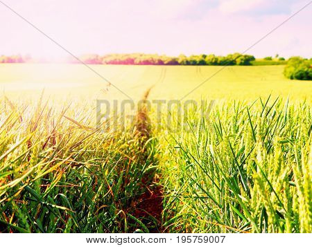 Shinning Young Green Wheat Corns Growing In Field, Light At Horizon. Golden Sun Rays In Wheat