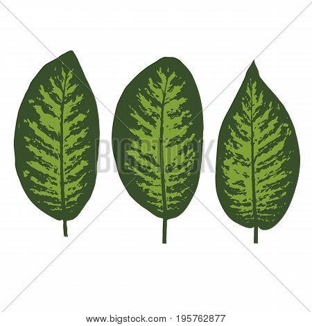 Vector illustration of Dieffenbachia tropical leaf set.