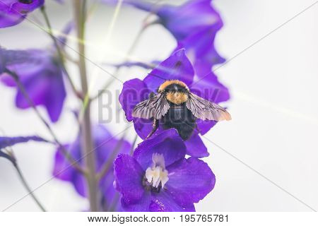 A macro shot of a bumble bee collecting pollen from a beautiful flower.