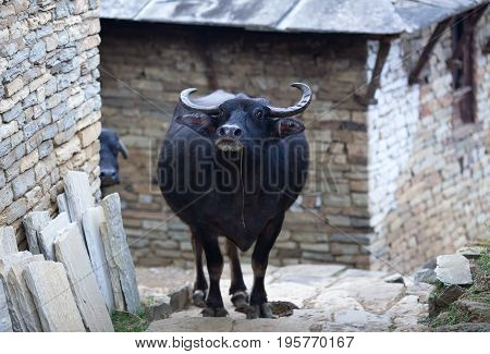 Asian water buffalo walking on a street in Nepalese village on Annapurna Circuit trek