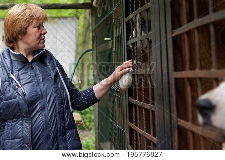 ST. PETERSBURG, RUSSIA - JUNE 30, 2017: Director of Vernost foundation Tatyana Titova with dogs in the shelter for homeless animals. About 40 big dogs living in the shelter today