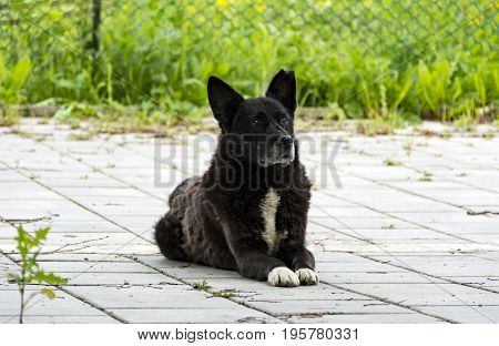 stray dog a mongrel with black hair looks up sad eyes