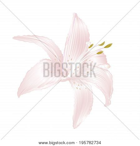 Lily white Lilium candidum a white flower vector illustration editable Hand draw