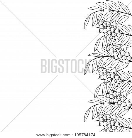 Detailed ink drawing of rowan or rowanberry. Berries and rowan berries with leaves, hand drawn in rustic design, classic drawing element of wild ash, pit or rowan-tree. Border, black and white.