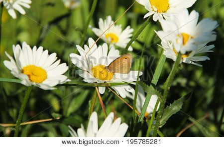 close photo of a brown butterfly feeding on the white bloom of daisy wheel
