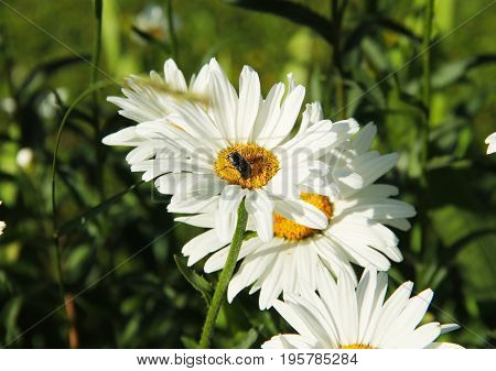 close photo of a beetle feeding on the white bloom of daisy wheel