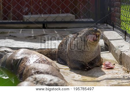 Predatory river otter with folded paws holding prey in the mouth