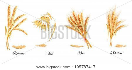 Ears of wheat oat rye and barley. Vector illustration.