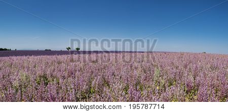 Large Panoramic View On Lavender Fields In Provence. France