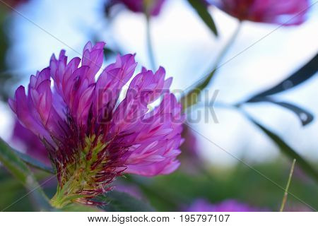 Red clover flower (Trifolium pratense). Focus on foreground.