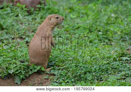 Prairie dog in the outdoors during the summer