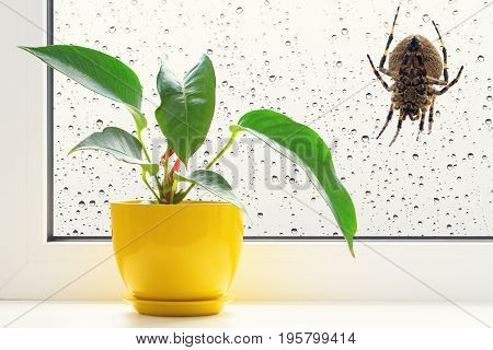 Spider on the window. Big spider and raindrops